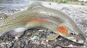 Beautiful Tongariro River Rainbow Trout