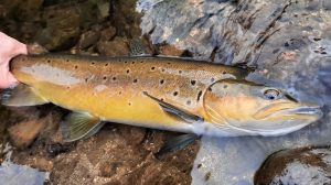 North Island NZ wild brown trout
