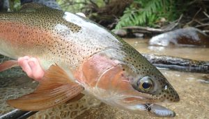 closeup of a NZ rainbow trout caught fly fishing the North Island backcountry